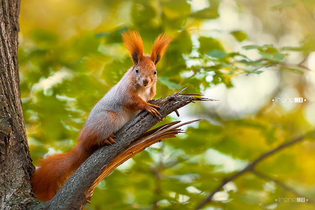 Red squirrel in Kharkiv, Ukraine. Photo by Irene Mei